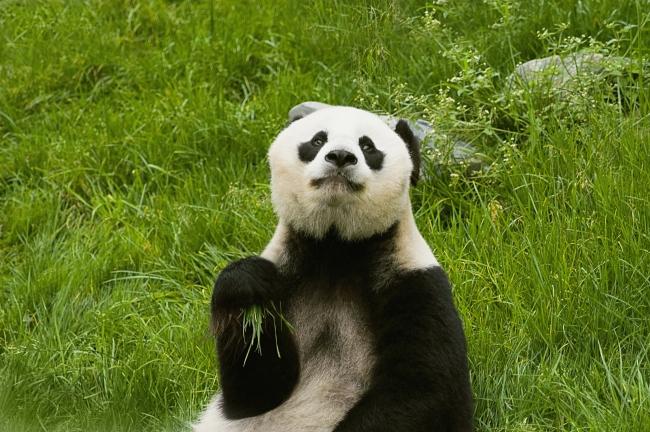熊猫可爱图片下载