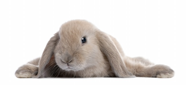zol素材 高清图片 动物图片 可爱小兔子图片
